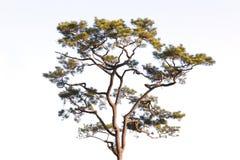 A pine Stock Photos