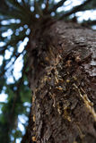 Pine log with resin Royalty Free Stock Images