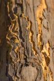 Pine log wood eaten beetle Stock Photography