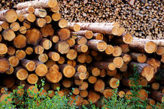 Pine Logs. Two piles of pine logs waiting for transportation. Pine is used for wood pulp and timber and making of furniture and paneling and other high value stock photo