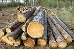 Pine logs. Timber industry, logging Royalty Free Stock Images