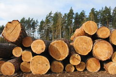 Pine logs. Timber industry, logging Stock Photography