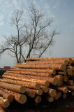 Pine logs. Stack of pine logs chopped down royalty free stock photography