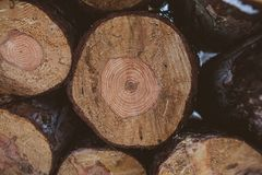 Pine logs background. Timber industry. Tree trunks texture and background for designers. Pine logs in winter forest. Pine logs background. Timber industry. Tree Stock Photography