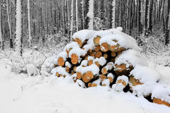 Pine logs in forest at winter time Stock Photos