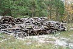 Pine logs lie in the autumn wood. Logging.  stock images