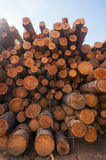 Pine logs on lumber mill. Pine logs stacked at lumber mill in Ontario, Canada Stock Photo