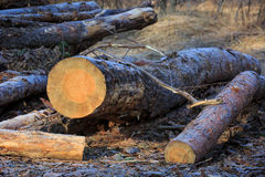 Pine logs on meadow Stock Image