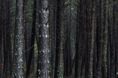 Pine Logs in Pine Forest Stock Image
