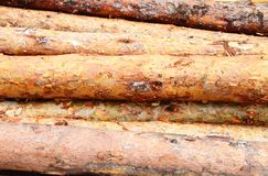 Pine logs stack Royalty Free Stock Image