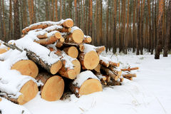 Pine logs under snow Stock Photo