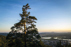 Pine. Lonely pine on the background of the city in the valley Stock Images