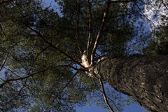 Pine looking to the sky. Bottom view. Pine branches looking to the blue sky. Bottom view Royalty Free Stock Photos