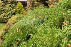 Pine lush green trees Stock Photos
