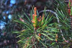 Pine Male Cones Among Green Needles Close-up During Flowering At Sunny Day. Pine male cones among needles close-up on a coniferous branch during flowering at royalty free stock photography