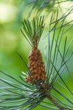 Pine Royalty Free Stock Photos
