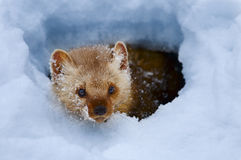 Pine Marten. In snowy cave Royalty Free Stock Photography