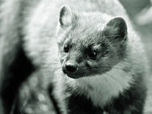Pine Marten in black and white Stock Images