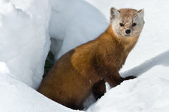 Pine Marten. In the snow looking to the left. Algonquin Provincial Park, Ontario, Canada Stock Images