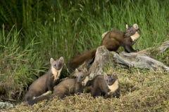 Pine Marten family Stock Photo