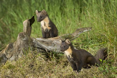 Pine Marten family Stock Photos
