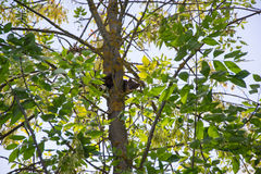 The pine marten. Forest marten among green leaves and branches of trees Stock Images