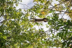 The pine marten. Forest marten among green leaves and branches of trees Stock Photo