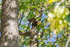 The pine marten. Forest marten among green leaves and branches of trees Royalty Free Stock Photo