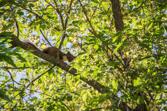 The pine marten. Forest marten among green leaves and branches of trees Stock Photography