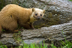 Pine Marten Stock Photos