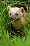 Pine Marten Royalty Free Stock Photos