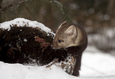 Pine marten looking into hollow log for hiding place during wint Stock Photos