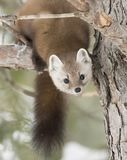Pine Marten Martes americana in Algonquin Park in winter snow in Canada. A Pine Marten Martes americana in Algonquin Park in winter snow in Canada royalty free stock photography