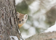 Pine marten. Martes americana peers out from behind a tree in Algonquin Park in winter Stock Photo