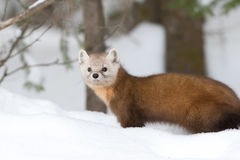 Pine marten. Martes americana in the snow in Algonquin Park in winter Royalty Free Stock Photography