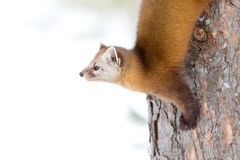 Pine marten. Martes americana on a tree in Algonquin Park in winter Royalty Free Stock Images