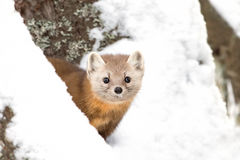 Pine marten. Martes americana on a tree in Algonquin Park in winter Stock Photos