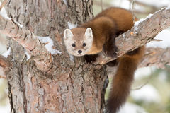 Pine marten. Martes americana on a tree branch in Algonquin Park in winter Royalty Free Stock Photography