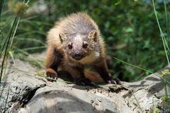 Pine Marten (Martes Martes) Royalty Free Stock Photography