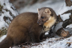 Pine Marten Royalty Free Stock Images