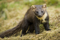 Pine Marten. Scottish wild Pine Marten out looking for food Stock Images