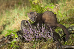 Pine Marten. Scottish wild Pine Marten out looking for food Royalty Free Stock Photography