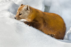 Pine Marten Royalty Free Stock Photography