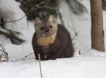 Pine marten standing  in deep snow with fir tree behind Royalty Free Stock Image