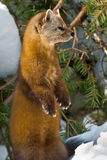 Pine Marten. Standing on its hind legs in the snow looking to the right. Algonquin Provincial Park, Ontario, Canada Stock Photos