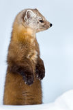Pine Marten. Standing on its hind legs in the snow looking to the right. Algonquin Provincial Park, Ontario, Canada Stock Image