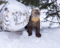 Pine marten standing next to log in deep snow with fir tree behi Stock Images