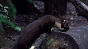 Pine marten - in summer stock video