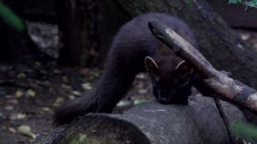 Pine marten - in summer stock video