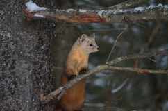 Pine Marten on a tree branch in winter. In Algonquin Park, Ontario, Canada Stock Photos